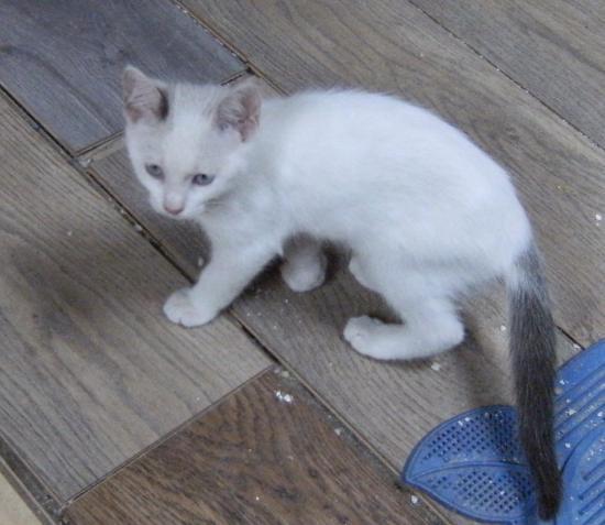 maiko femelle, yeux bleu, née le 22/04/16