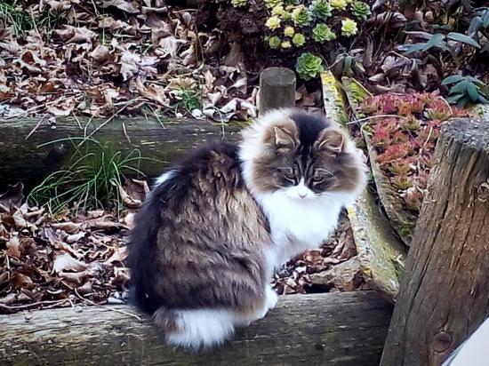 Lili, poil long, habituée au chien et chats,