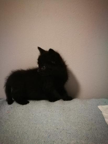 niagarie femelle 2 mois, adopté