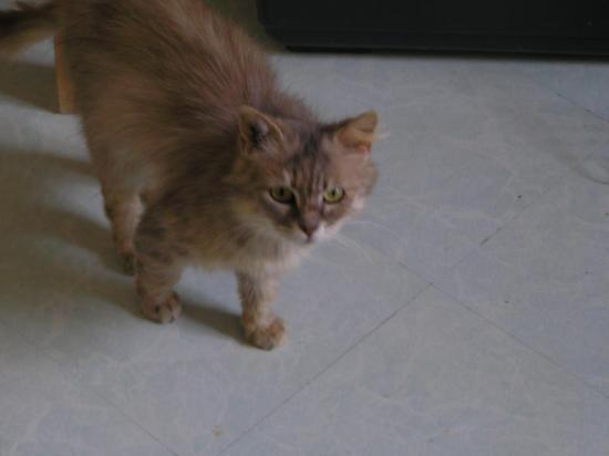 golden femelle croisée persan, caline, née en 2013