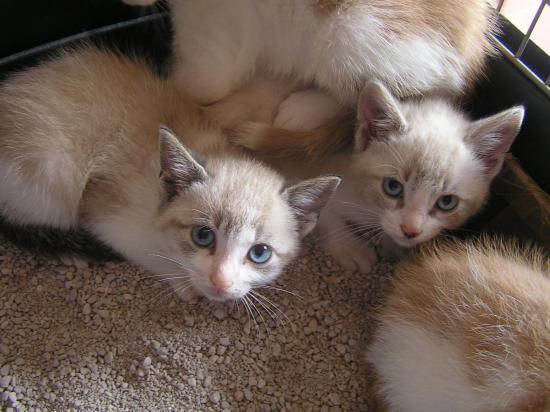 okapinR male  né 12/04/18 yeux bleu, son frère adopté
